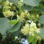 Lipa – królewskie drzewo Lipinek