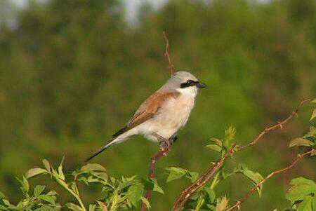 Dzierzba gąsiorek – ptak ciernistych krzewów