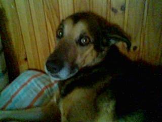WWójtowej zaginął pies kundelek
