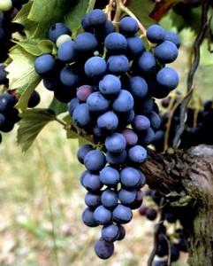 Winorośl - odmiana Weintraube