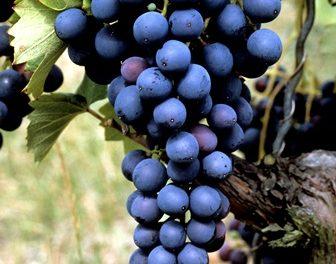 Jak uprawiać winorośl wMałopolsce?
