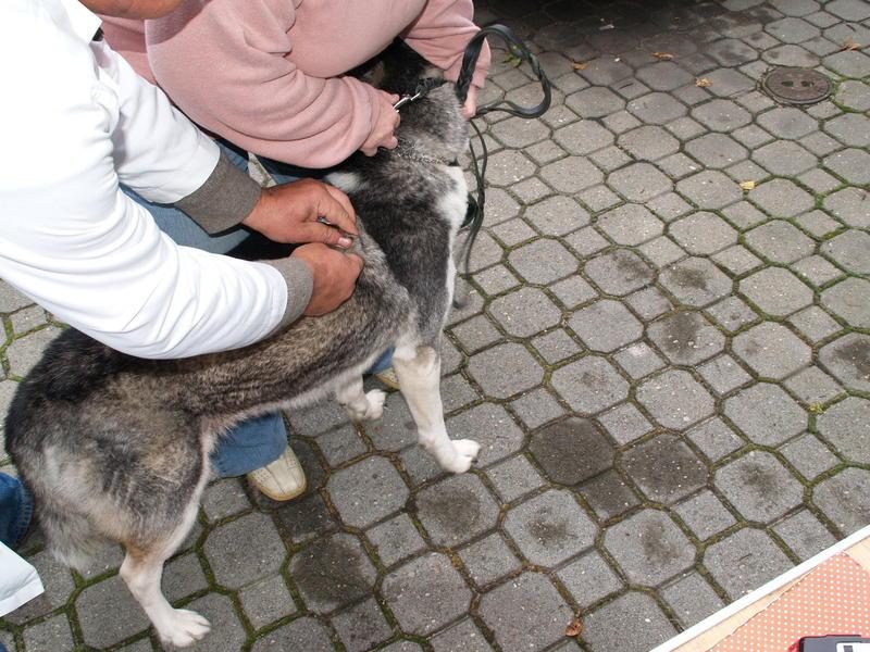 Szczepienie psów wKrygu