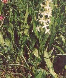 Podkolan biały, czyli storczyk, nalipińskiej łące