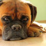 Kryg: Szczepienie psów przeciwko wściekliźnie