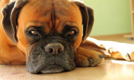 Szczepienie psów wKrygu. Sprawdź dokładny harmonogram