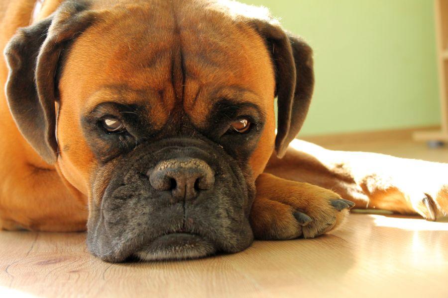 Wprzyszłym tygodniu szczepienie psów przeciwko wściekliźnie wRozdzielu, Bednarce iLipinkach