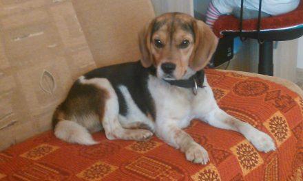 Zaginął pies rasy beagle. Ktokolwiek widział, ktokolwiek wie…