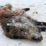 Głodne wilki zaatakowały wLipinkach