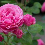 Sprzedaż róż wLipinkach