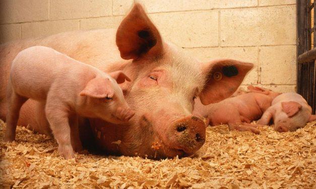 Szkolenie wLipinkach: Gospodarczy ubój zwierząt naużytek własny
