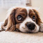 Pagorzyna iBednarskie: Szczepienie psów przeciwko wściekliźnie