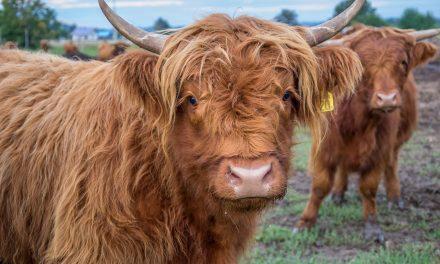 Wołowina zPagorzyny zadebiutuje naekologicznych targach wMikołowie