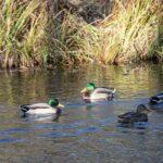 Zagrożenie zjadliwą grypą ptaków. Urząd Wojewódzki wKrakowie ostrzega iprosi oczujność