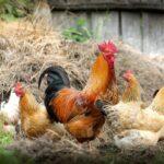 Ptasia grypa szaleje! Zbiórka informacji ohodowanym naterenie powiatu gorlickiego drobiu iinnych ptakach